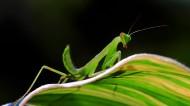 绿色嚣张的螳螂昆虫图片(7张)