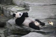 动物园饲养的可爱大熊猫图片(13张)