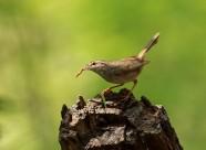朽木桩上的巨嘴柳莺图片(5张)