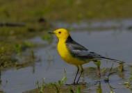 黄头鹡鸰鸟类图片(14张)