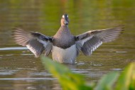白眉鸭鸟类图片(6张)