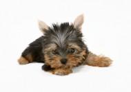 宠物狗图片(21张)