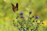 色彩斑斓的蝴蝶图片(26张)