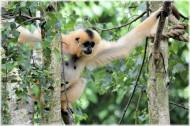 长臂猿图片(9张)