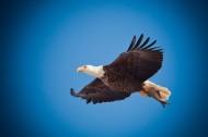 飞翔的老鹰图片(14张)