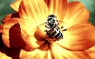蜜蜂采蜜图片 (8张)