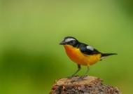 白眉姬鹟鸟类图片(9张)