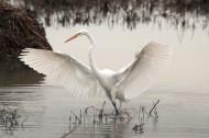 优雅的白鹭图片(10张)