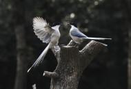 嬉闹的灰喜鹊图片(10张)