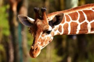 长颈鹿高清图片(15张)