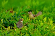 柳莺图片(9张)
