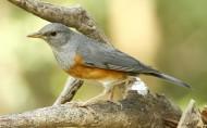 灰背鸫鸟类图片(38张)