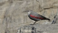 红翅旋壁雀鸟类图片(8张)