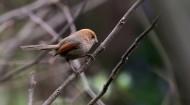 棕头鸦雀图片(15张)