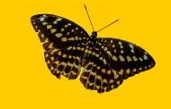 漂亮的蝴蝶图片(12张)