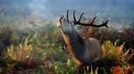 野生麋鹿图片(8张)