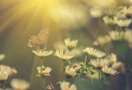 花丛中蝴蝶图片(14张)