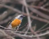北红尾鸲图片(11张)