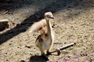 鸵鸟图片(9张)