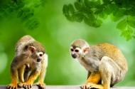 淘气的松鼠猴图片(16张)