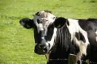 奶牛高清图片(15张)
