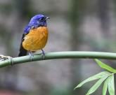 棕腹蓝仙鹟鸟类图片(5张)
