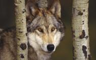 狼图片(20张)