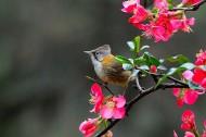 黄颈凤鹛图片(9张)