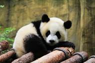 淘气的熊猫图片(11张)