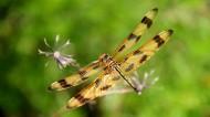 蜻蜓图片 (15张)