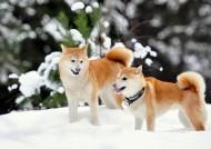 西巴犬图片(6张)