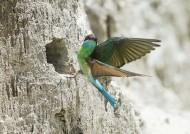 蓝喉蜂虎鸟类图片(8张)