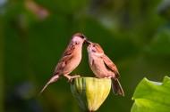 莲蓬上的一对小麻雀图片(8张)