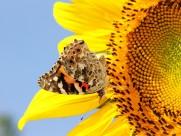 追逐向日葵的蝴蝶图片(20张)