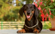 腊肠犬图片(9张)