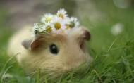 动物小豚鼠荷兰鼠图片(11张)