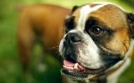 可爱的英国斗牛犬图片(13张)