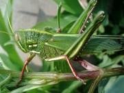 蚂蚱蝗虫图片(16张)