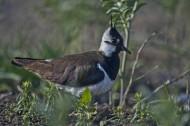 凤头麦鸡鸟类图片(13张)