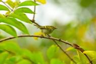 黄腰柳莺鸟类图片(5张)