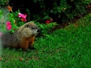 可爱的土拨鼠图片(9张)
