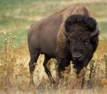体型巨大的野牛图片(10张)