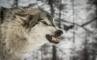 凶猛的狼图片(13张)