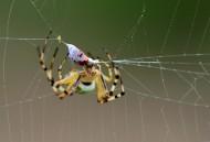 奇特的横纹金蛛昆虫图片(6张)