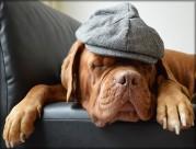 戴帽子的波尔多犬图片(12张)
