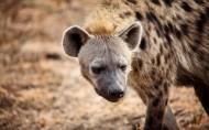 鬣狗图片(11张)
