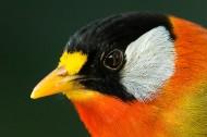 银耳相思鸟图片(7张)