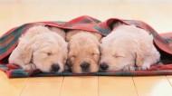 金毛犬图片(10张)