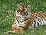 凶猛的野生老虎图片(15张)