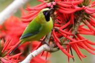 蓝翅叶鹎鸟类图片(6张)
